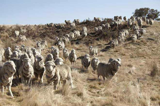 Australian Merino sheep (Image: The Woolmark Company)