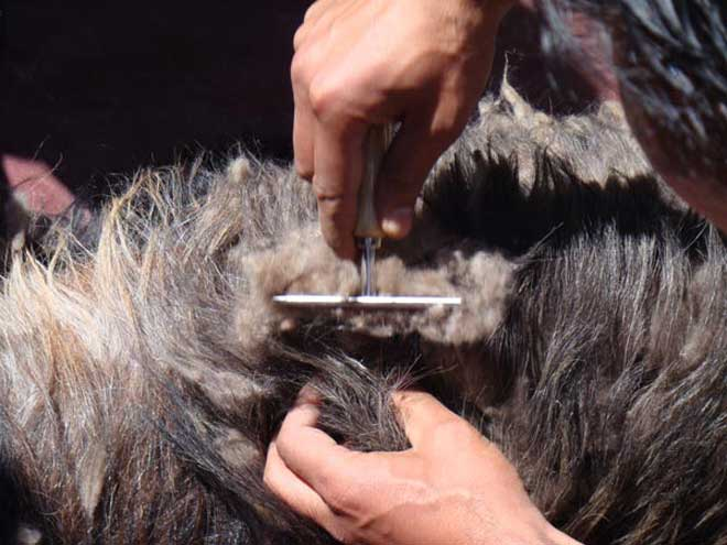 The cashmere combing process (Image: Cashmere Fibres International)